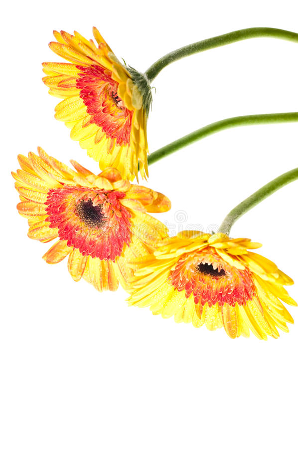 Three Yellow Orange Gerbera Flower Royalty Free Stock Images