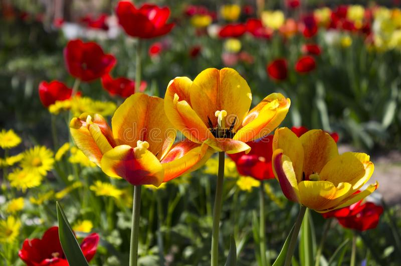 Three yellow-red tulips on a background of red and orange flowers in the garden. Bright spring flowers royalty free stock photography