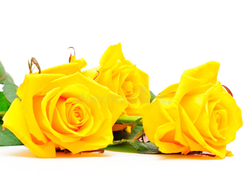three yellow rose flat on white background stock photo