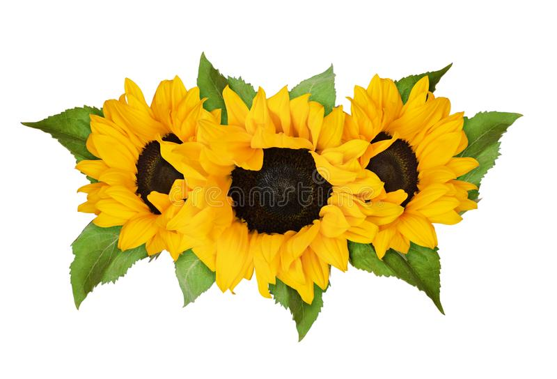 Three yellow sunflowers and green leaves in summer arrangement stock photo