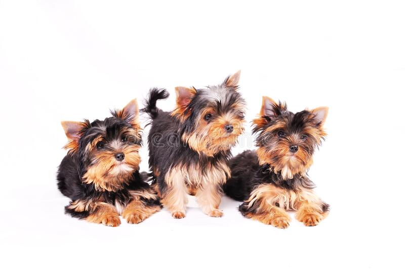 Three Yorkshire terrier puppy. Sitting on a white background stock images