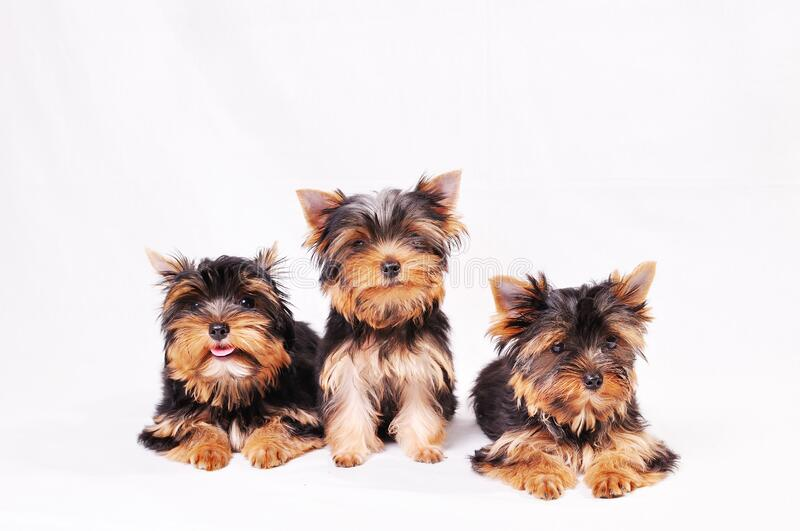 Three Yorkshire terrier puppy. Sitting on a white background stock photography