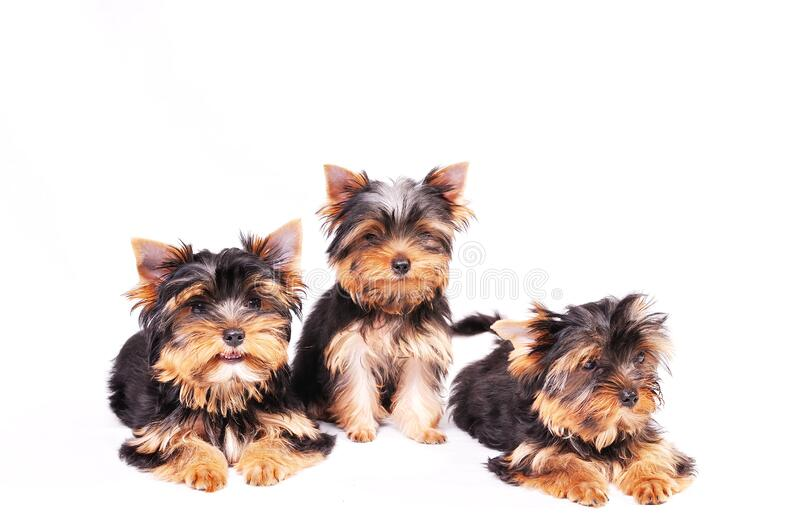 Three Yorkshire terrier puppy. Sitting on a white background stock photos