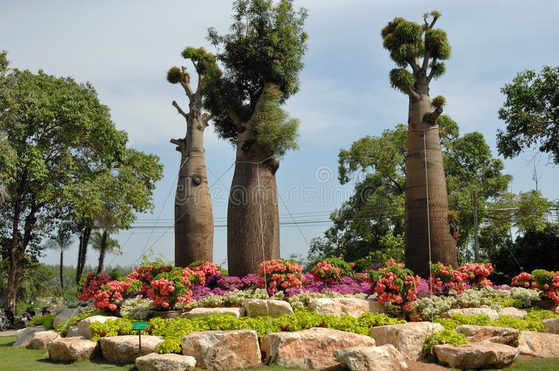 Three young baobabs stock image