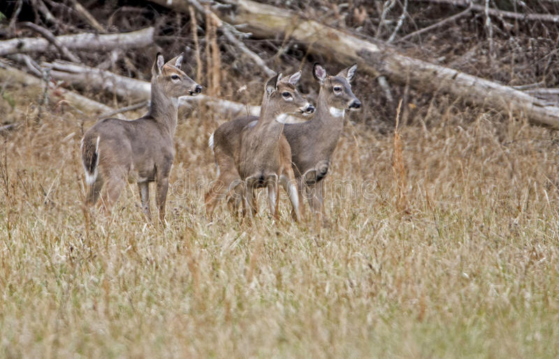 Download Three Young Bucks At Attention. Stock Photo - Image: 83710074