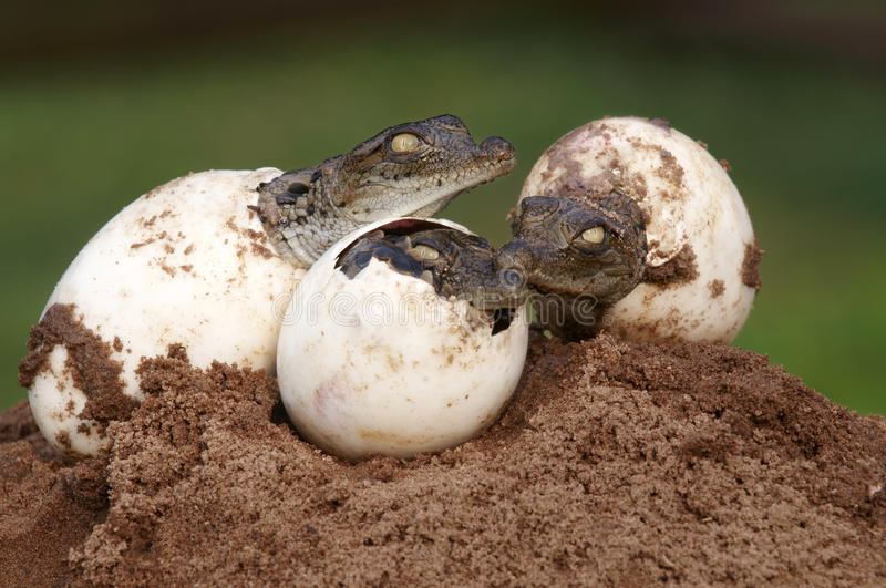 Three Young Nile Crocodiles hatching from eggs stock photos