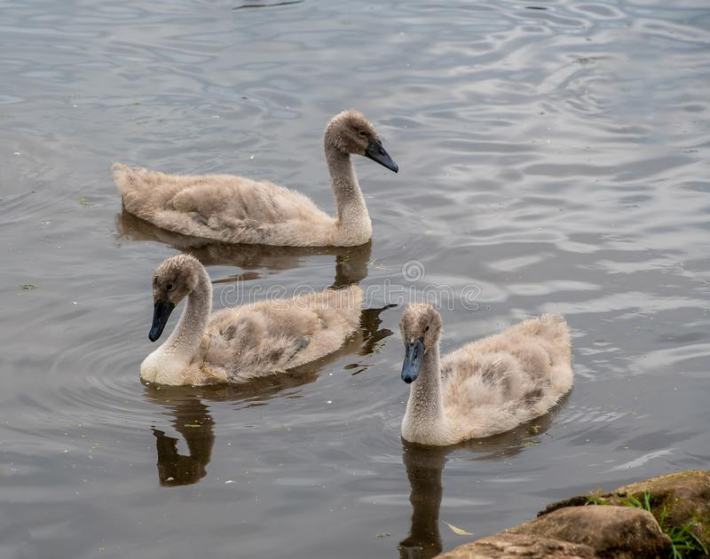 Three young cygnets. Swimming on a lake stock photos