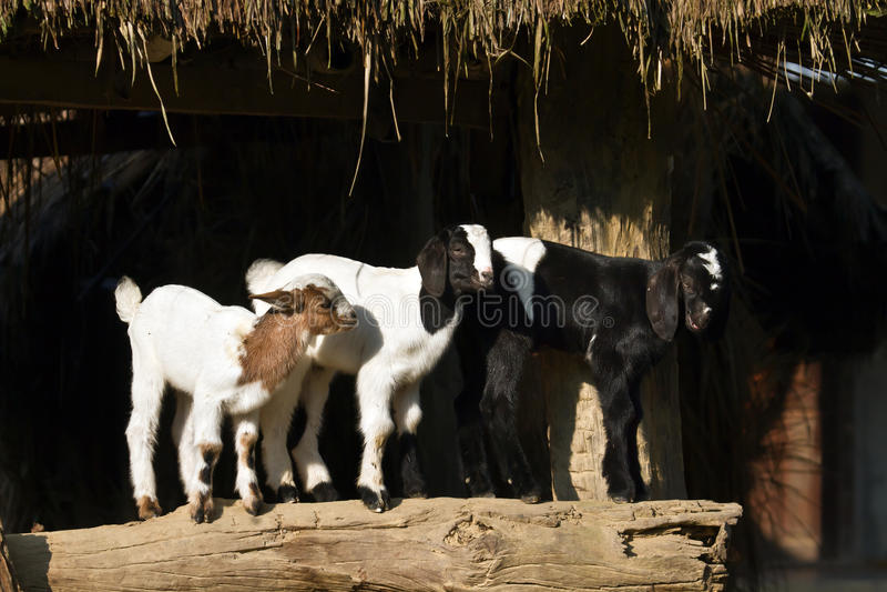 Three young kids in a nepali farm, Bardia, Nepal royalty free stock photos