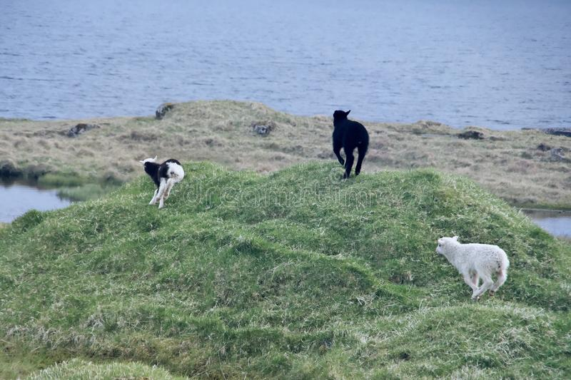 Three young lambs playing around on green grass stock photos