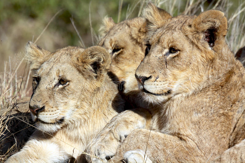 Three young lions stock photography