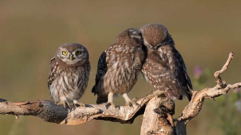 Three young Little owl, Athene noctua, stands on a stick on a beautiful background royalty free stock images