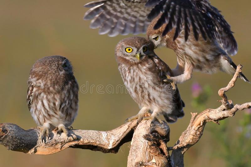 Three young Little owl, Athene noctua, stands on a stick on a beautiful background stock image