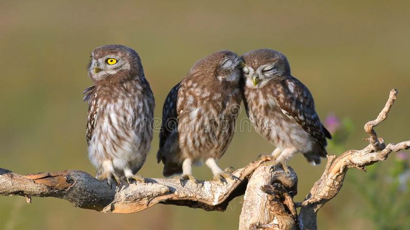 Three young Little owl, Athene noctua, stands on a stick on a beautiful background royalty free stock photo