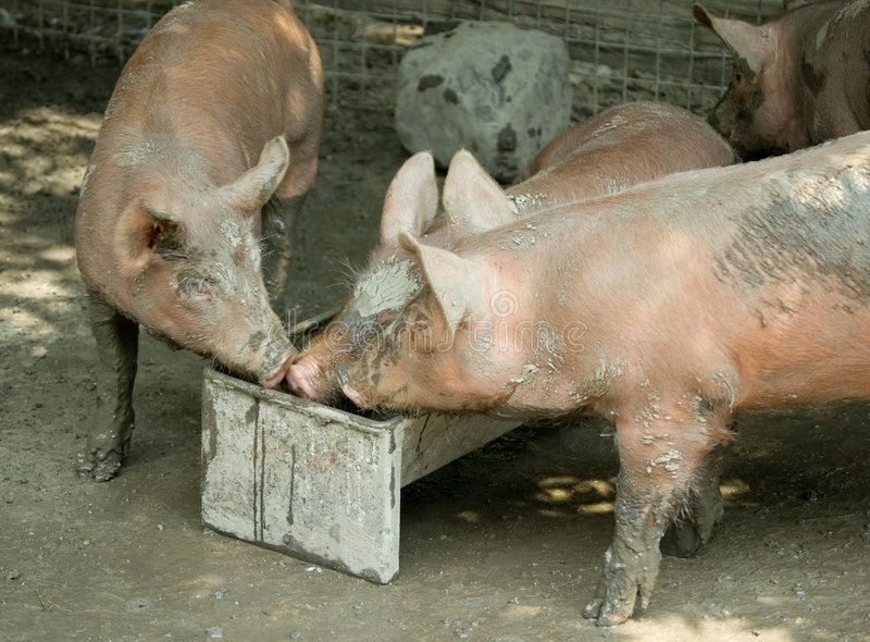 Three young pigs at trough