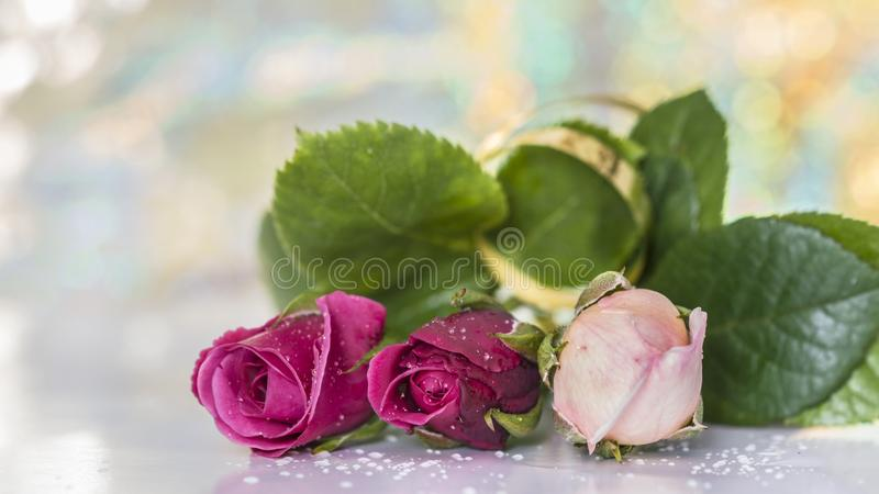 Three Young Roses. Red and white on a blurred background royalty free stock photography