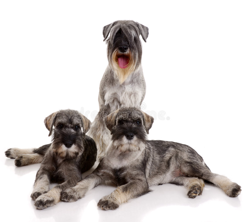 Three young schnauzers royalty free stock photos