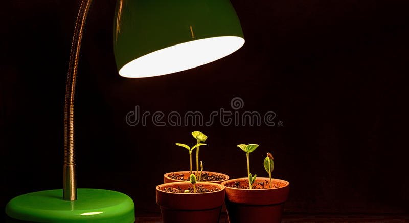 Three Young Sprouts With Grow Lamp. Three seedlings grow under the influence of a plant growth light. Great metaphorical image to symbolize business mentoring stock photography