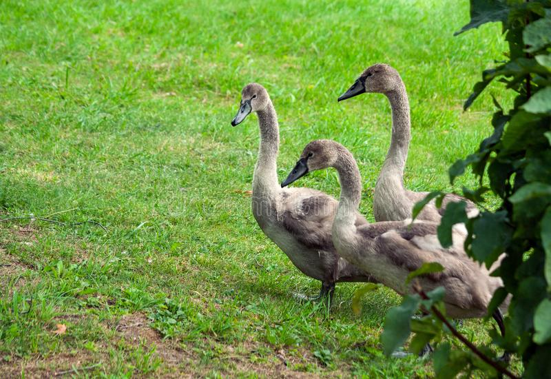 Three young swan fledglings are walking along, coming out from behind a bush royalty free stock image
