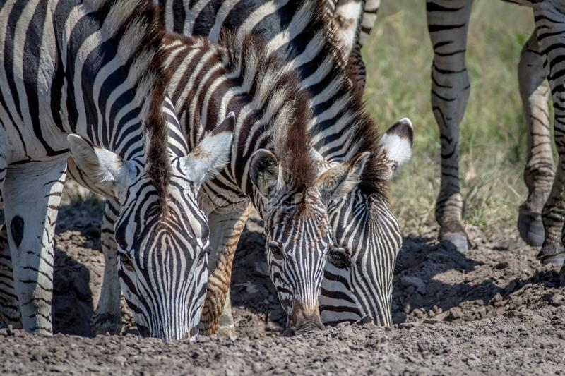 Three Zebras drinking in Chobe. stock photos