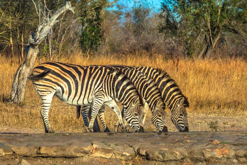 Three Zebras drinking. Three adult zebras lined up drinking at waterhole in natural habitat. Game safari in Kruger National Park, South Africa. Side view royalty free stock photo