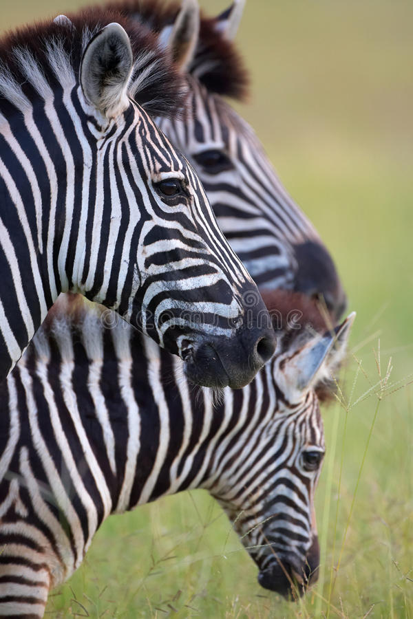 Free Three Zebras In Savannah Royalty Free Stock Image - 11809416