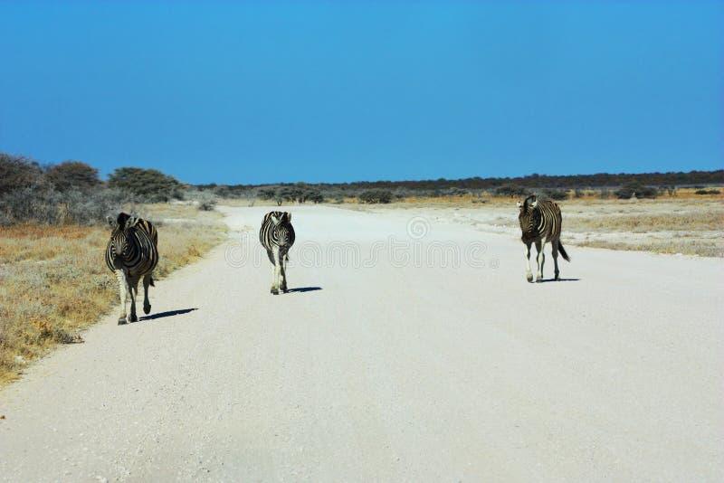 Three zebras, one road stock photos