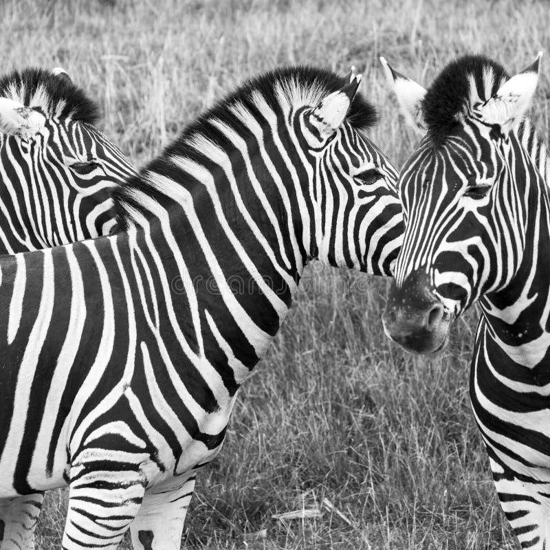 Three zebras, photographed in monochrome at Port Lympne Safari Park, Ashford, Kent UK. Three zebras, photographed in monochrome at Port Lympne Wildlife Park royalty free stock images