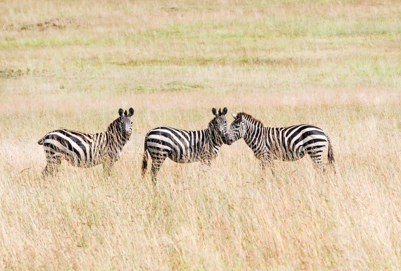 Three zebras in the savannah stock photos