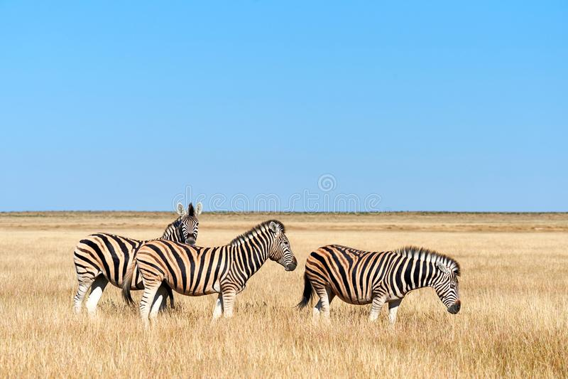 Three zebras in the savannah stock photography