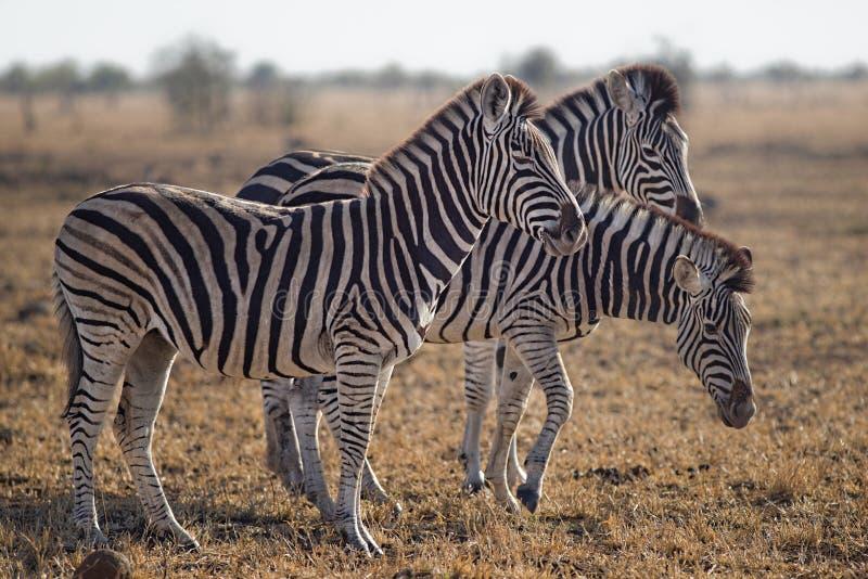 Three Zebras Standing on Green Grass Field royalty free stock photo