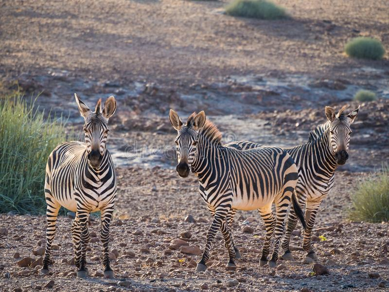 Three zebras standing in rocky surroundings during afternoon light, Palmwag Concession, Namibia, Africa.  royalty free stock photos