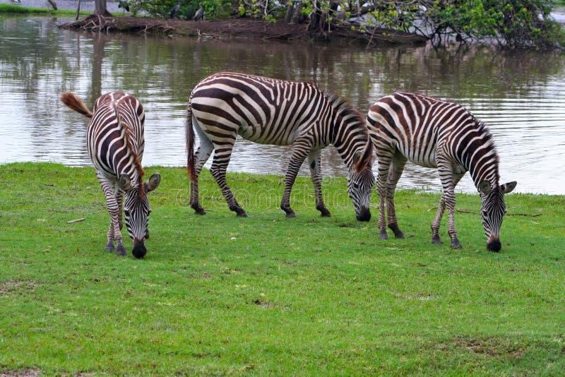 Three zebras walking in Safari World, Bangkok stock photos