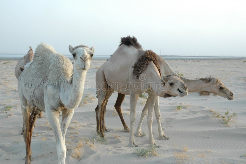 Threee camels stock photography