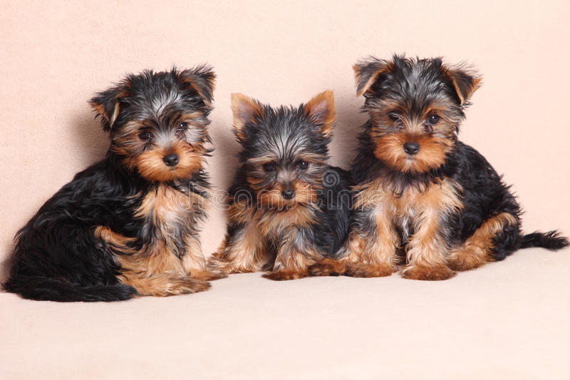 Threepuppy Yorkshire Terrier is isolated stock photo
