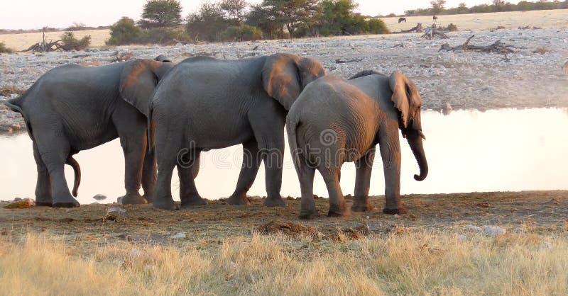 Threesome слона стоковое изображение rf