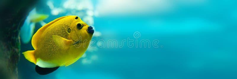 Threespot havsängelApolemichthys trimaculatus, panorama- vattenbakgrund royaltyfri fotografi