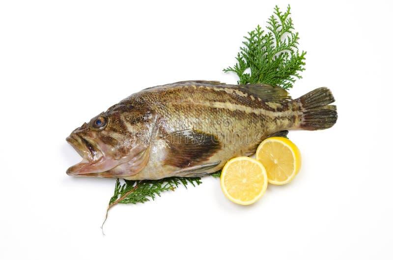 Threestripe Rockfish Stock Photos