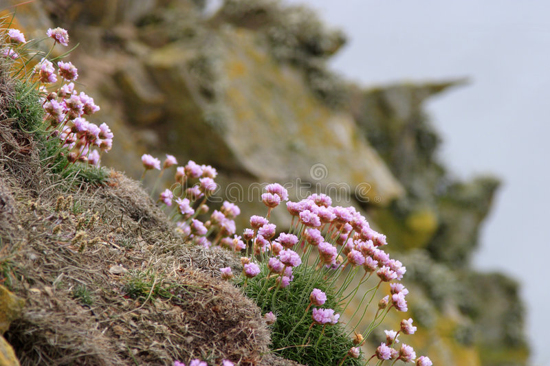 Thrift. Blooming Thrift at a cliff stock images