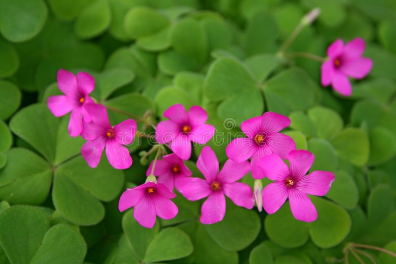 Thrift. Flowering ground covering called thrift. Beautiful flower blooms stock photo