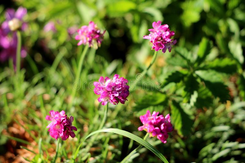 Thrift or Armeria maritima compact perennial flowering plant with small pink flowers surrounded with grass and other plants in stock images