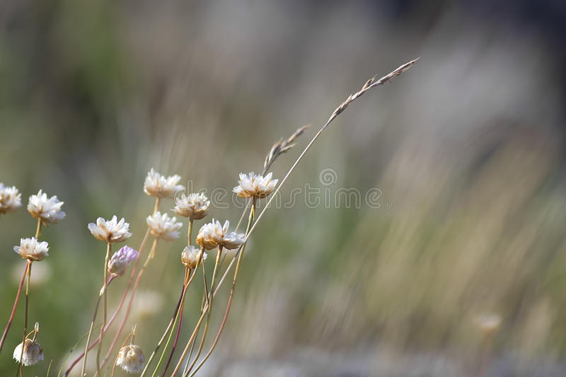 Thrift flower. Close up of thrift flowers growing on rocks royalty free stock images