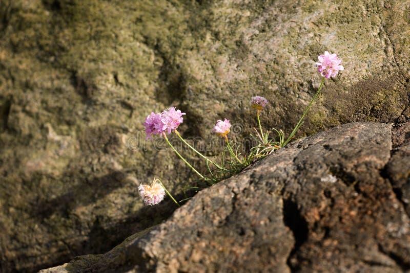 Thrift flower. Bright pink Thrift flower - Sea Pink Armeria maritima stock photo