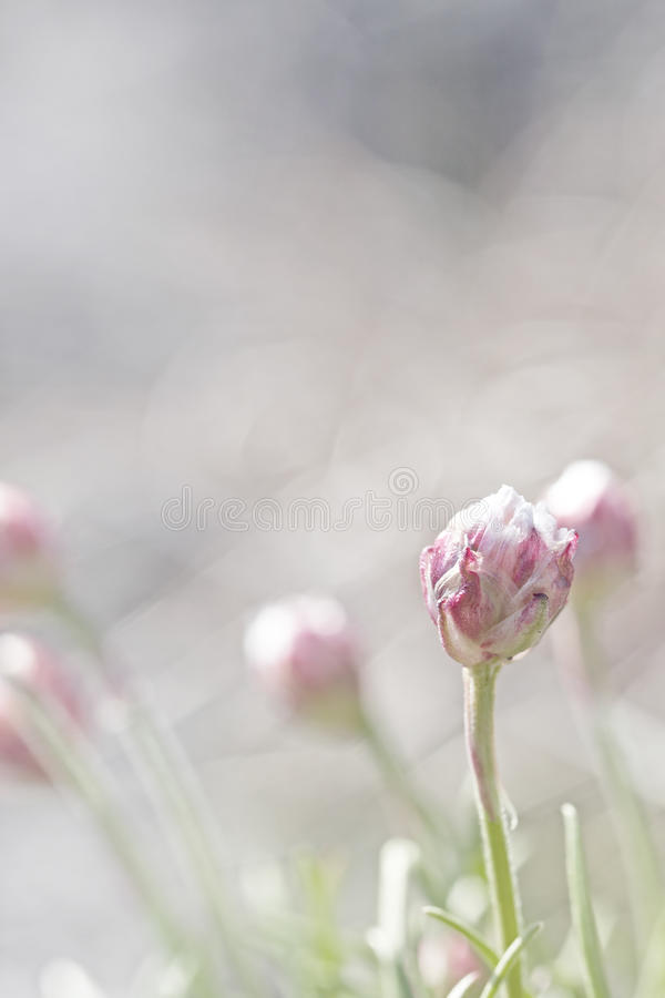Thrift flower. Macro picture of thrift flowers - shallow DOF royalty free stock photo