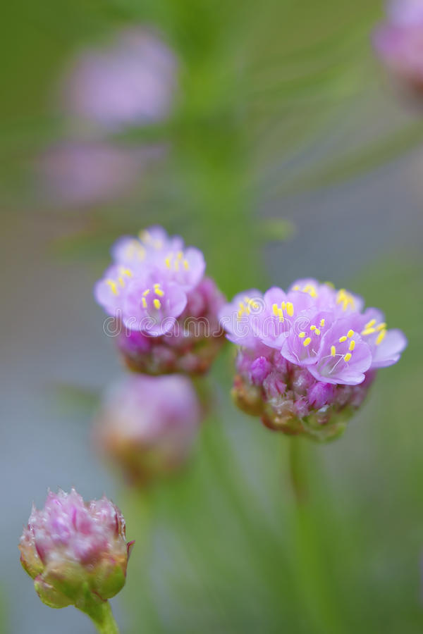 Thrift flower. Macro picture of thrift flowers - shallow DOF royalty free stock photos