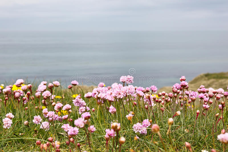 Thrift flowers. On the meadow by the sea stock images