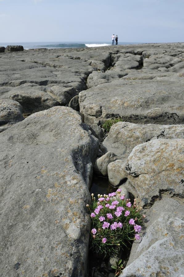 Thrift or Sea Pink. Armeria maritima, growing Gryke at Doolin stock image