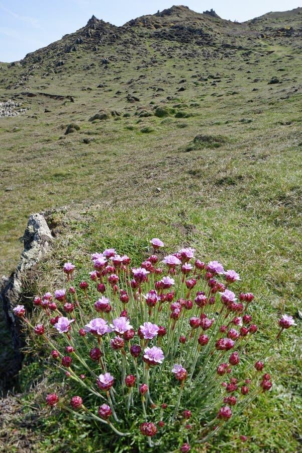 Thrift or Sea Pink. Armeria maritima .Morte Point, Devon stock photo