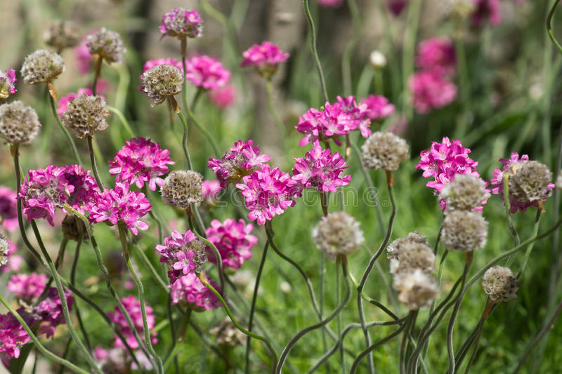 Thrift seaside lat. Armeria maritima Mill. vulgaris Willd in the flower bed in the Park. Sunny summer day stock photography