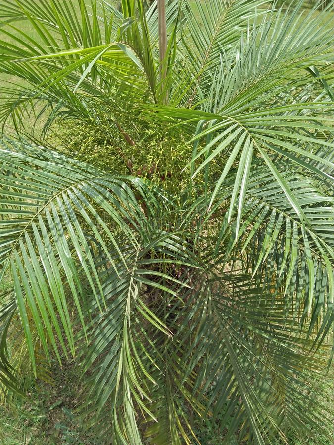 DYPSIS LUTESCENS. They thrive in pots &low light conditions ,with areca palm breathe easy ,because they filter and clean the air .They filter ,dry stale air & royalty free stock photography