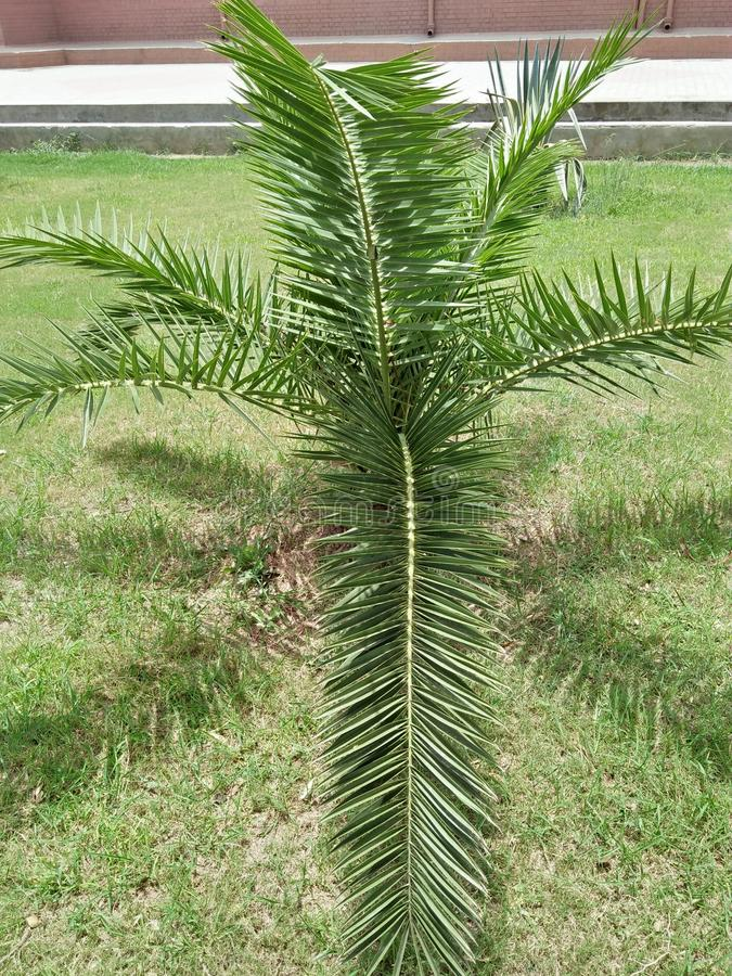 DYPSIS LUTESCENS. They thrive in pots &low light conditions ,with areca palm breathe easy ,because they filter and clean the air .They filter ,dry stale air & royalty free stock photo